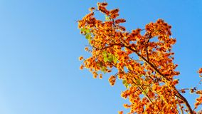 Palas花 保泰松monosperma花,开花的拙劣的柚木树,但是 库存图片
