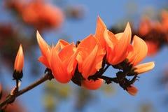 Palas; Blommor av torkan Fotografering för Bildbyråer