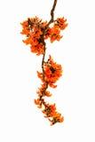 Palas del fiore arancio Immagini Stock Libere da Diritti