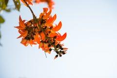 Palas del fiore arancio Fotografie Stock Libere da Diritti