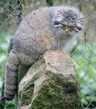 Palas`s Cat 2. Palas`s сat also known as manul. Latin name - Felis manul Royalty Free Stock Photos