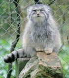 Palas`s Cat 3 Royalty Free Stock Photos