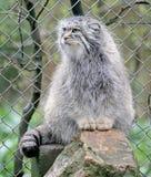 Palas`s Cat 4. Palas`s сat also known as manul. Latin name - Felis manul Stock Images