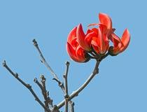 Palash Flowers Bunch Stock Image