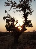Palash tree under sunset. A palash tree silhouette under the sun. Sun behind the tree creates an ambience of light brownn and white background . Captured this Royalty Free Stock Photos