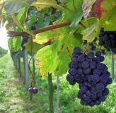 Palatine vineyard in germany Stock Photography