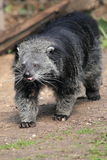Palawan bearcat Royalty Free Stock Images
