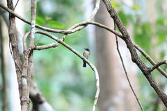 Palawan Blue Flycatcher Stock Photos