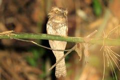 Palawan Frogmouth Royalty Free Stock Photography