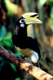 Palawan Hornbill. The Palawan hornbill (Anthracoceros marchei), known as Talusi in the Filipino language, is a smallish (approximately 70 centimetres (28 in) Stock Images