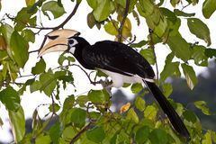 Palawan hornbill bird in close up Royalty Free Stock Photography