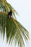 Palawan hornbill bird in tree Royalty Free Stock Photos