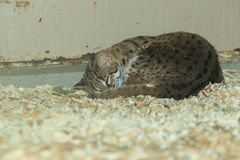 Palawan leopard cat. Lying on the sawdust Stock Photo
