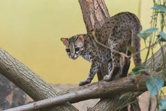 Palawan leopard cat. Strolling on the wood Stock Images