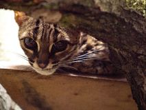 Palawan leopard cat, Prionailurus bengalensis heaney, he peeks through the sling royalty free stock image