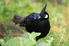 Palawan peacock-pheasant Stock Images