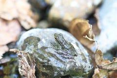 Palawan Wood Frog Stock Photography