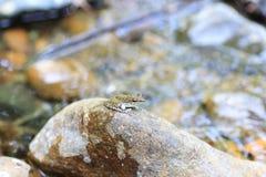 Palawan Wood Frog Stock Photo