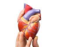 Palce pokazuje wzorcowego ludzkiego serce na bielu zdjęcie stock