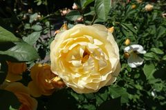 Pale amber yellow flower of rose. In June stock photos