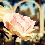 Pale autumn rose in Gorky Park - retro filter. Royalty Free Stock Image