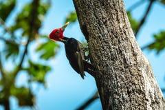 Pale billed woodpecker Stock Photos
