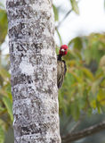 Pale-billed Woodpecker Stock Images
