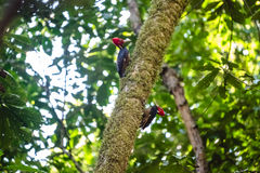 Pale billed woodpeckers. Campephilus guatemalensis sit on the tree with natural forest background Royalty Free Stock Photo