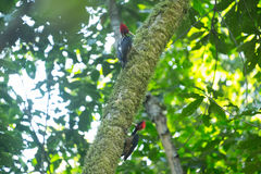 Pale billed woodpeckers. Campephilus guatemalensis on the tree in a forest Stock Photo