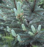 Pale Blue Blue Spruce Buds. A young Blue Spruce tree is accented by its pale blue buds that contrast with its usual green blue color.  Blue spruce is a popular Stock Image