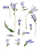 Pale blue campanula pressed. Delicate flowers and petals Stock Photography