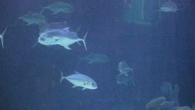 Pale blue fish underwater. Pale blue fish under dark blue stock video footage