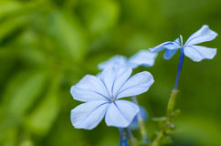 Pale blue flower. Pale blue periwinkle flower with blurred green background Royalty Free Stock Image