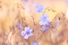 Pale blue flowers on a yellow brown background. The beautiful blurred background with flowers. Flax of the field. Stock Images