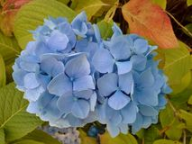 Pale Blue Hydrangea Royalty Free Stock Photography