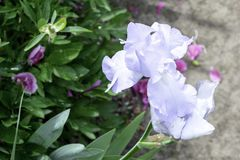 Pale blue iris flower blooming in a garden in spring. Pale blue iris flower blooming in the garden in spring stock images