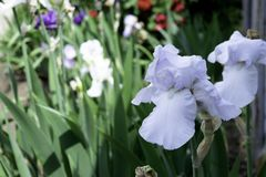 Pale blue iris flower blooming in a garden in spring. Pale blue iris flower blooming in the garden in spring stock photo