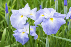 Pale blue Japanese iris Stock Photo
