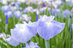 Pale blue Japanese iris Royalty Free Stock Photography