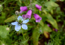 Pale blue nigella - love-in-a-mist - flower. Growing in a full flower bed with foxglove plant beyond Royalty Free Stock Photo