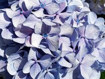 Pale Blue and Purple Hydrangea Flowers Stock Images
