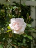 Pale Blush Rose Against White Trellis. Closeup of pale pink rose blossom and buds, shown in a garden with white trellis in the background stock image