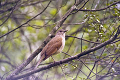 Pale-breasted thrush in the forest Stock Images