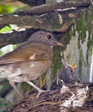 Pale-breasted thrush in the nest with cub Stock Photo