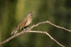 Pale-breasted thrush, Turdus leucomelas Stock Images