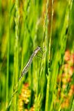 Pale brown female Common Blue Damselfly.enallagma cyathigerum on a blade of grass royalty free stock photos