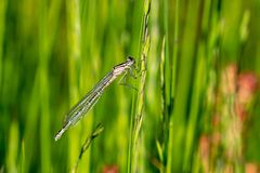 Pale brown female Common Blue Damselfly enallagma cyathigerum on a blade of grass royalty free stock images
