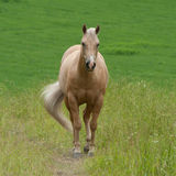 Pale brown horse in the field Royalty Free Stock Images