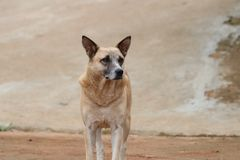 Pale brown Pet Dog outdoor portrait photography in the field royalty free stock photography