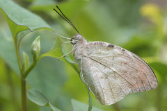 Pale butterfly. A pale butterfly on a left Royalty Free Stock Image